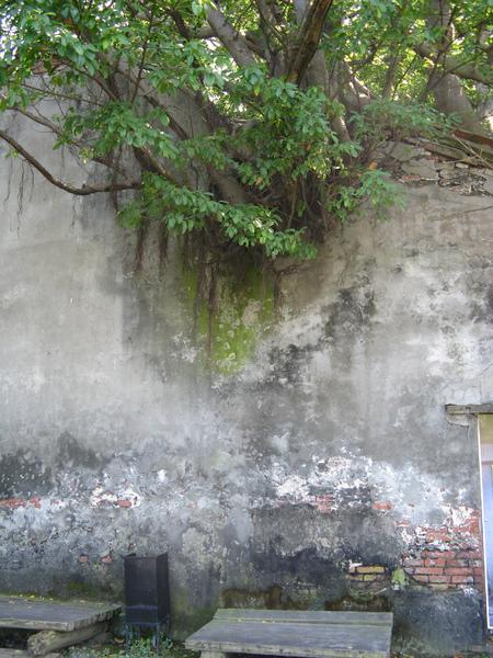 安平樹屋裡的樹 8