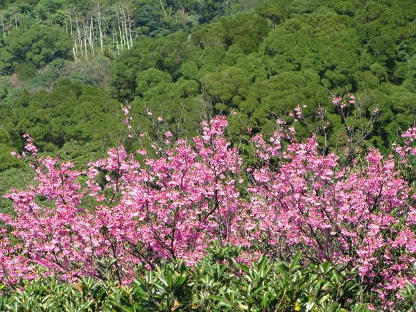 第二停車場旁步道附近的山櫻花 2