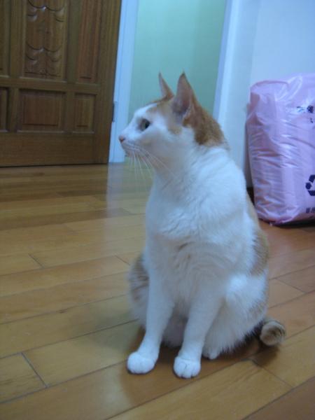 Cat's Homestay其中一隻貓,我只知道它不是布丁._.