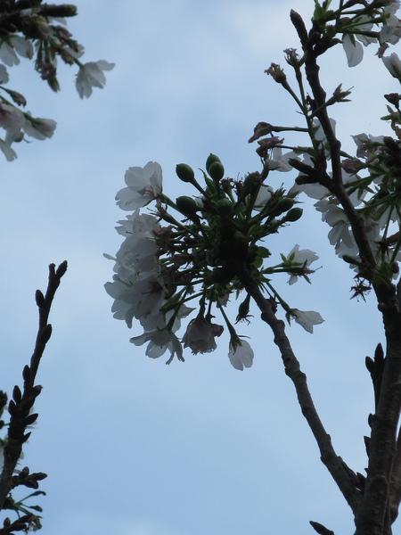 運動設施旁的櫻花 1