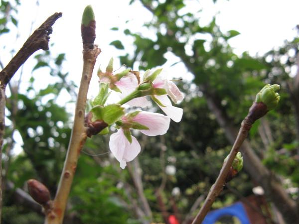 運動設施旁的櫻花 14