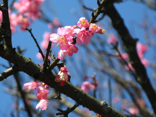 第二停車場附近的山櫻花 3