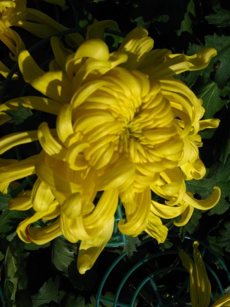 黃色的菊花
