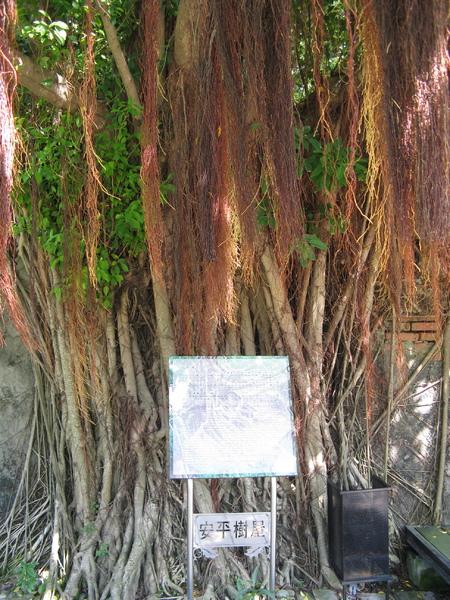 安平樹屋裡的樹 5