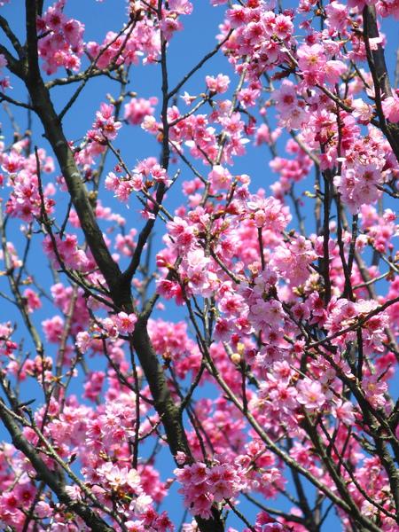 第二停車場附近的山櫻花 2