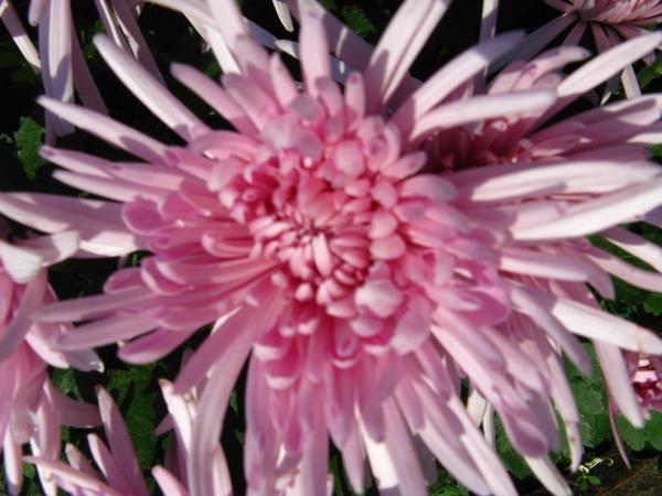 粉紫色的菊花