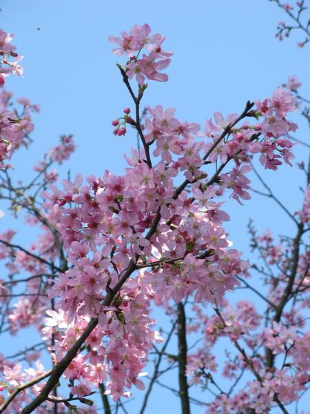 迷路狀態下還是繼續拍山櫻花 7