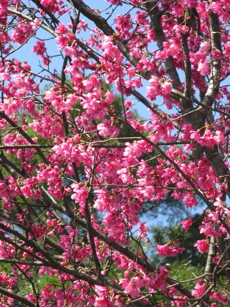 第二停車場附近的山櫻花 5