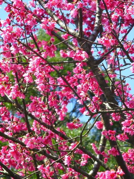第二停車場附近的山櫻花 4