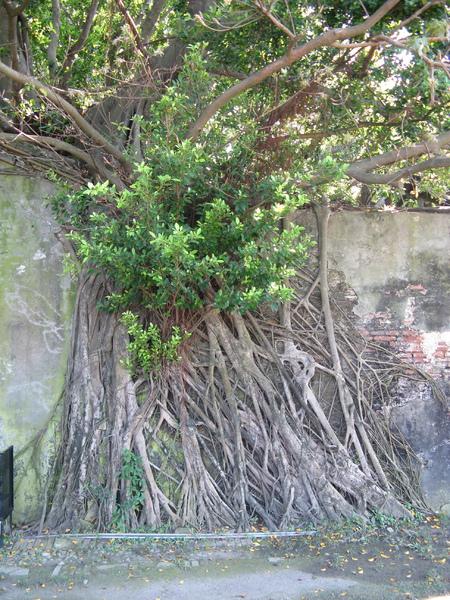 安平樹屋裡的樹 9