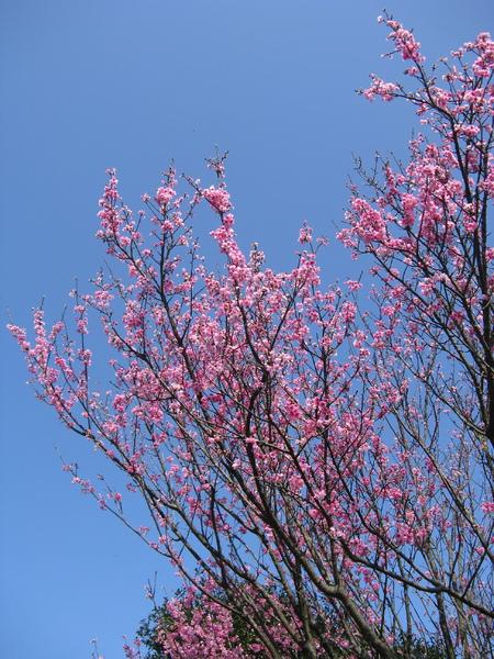 第二停車場附近的山櫻花 1