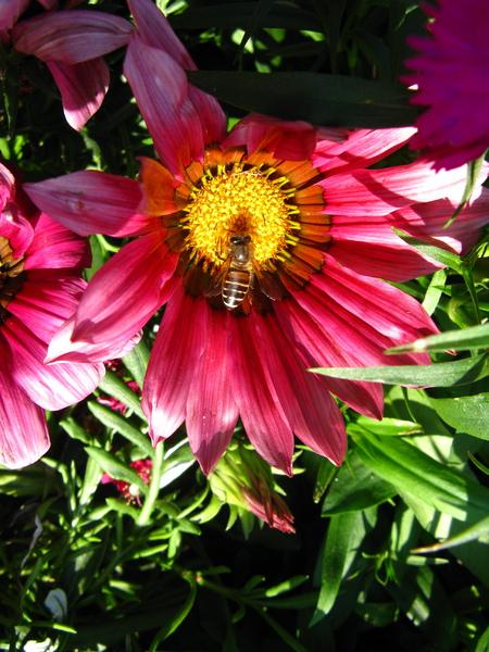 採蜜中的蜜蜂 2