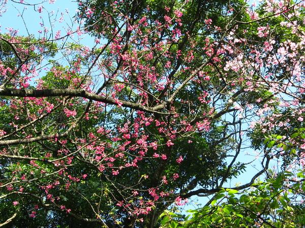 迷路狀態下還是繼續拍山櫻花 1