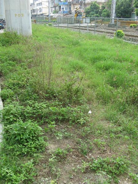 糖鐵鐵軌早已湮沒在草叢中…