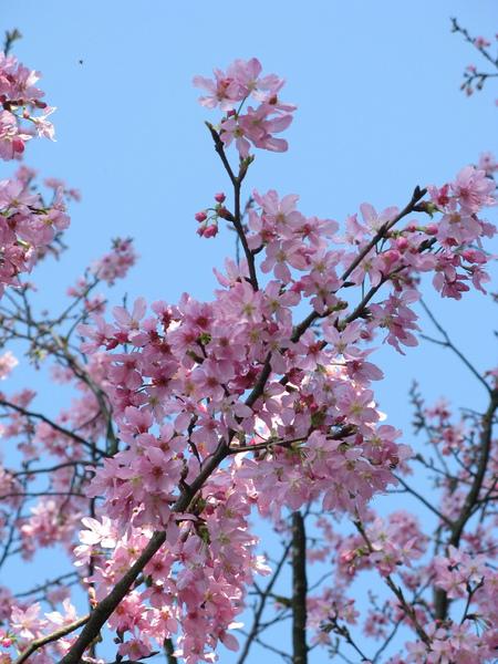 迷路狀態下還是繼續拍山櫻花 6