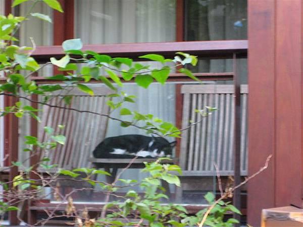 在飯店別墅裡偷閒的貓