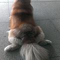 棕毛哈士奇(雪橇犬)