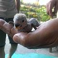 小型鸚鵡(小鸚)