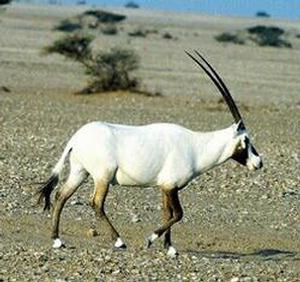 20070705-133632-20070705_oryx