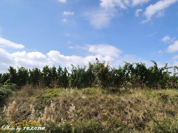 亞爾薩斯的葡萄園