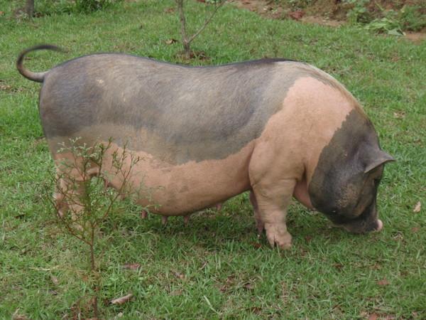 聽說這是迷你豬