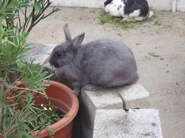 有雙下巴的兔子