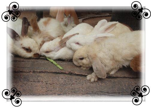 東芭樂園兔子.jpg
