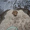 青蛙也來了
