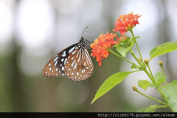 淡小紋青斑蝶