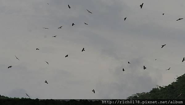 灰面鵟鷹-1