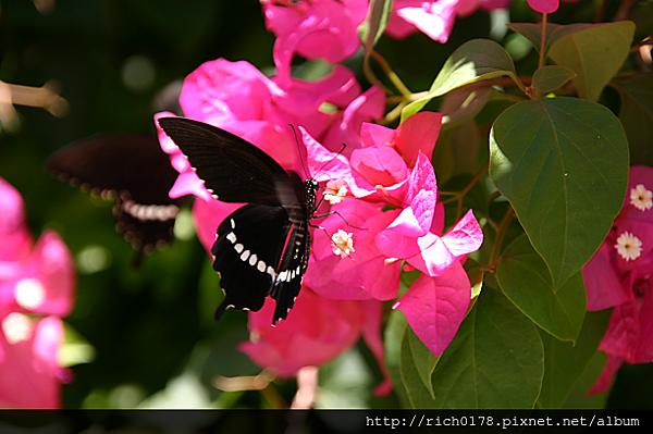 玉帶鳳蝶和九重葛
