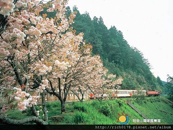 櫻花與小火車