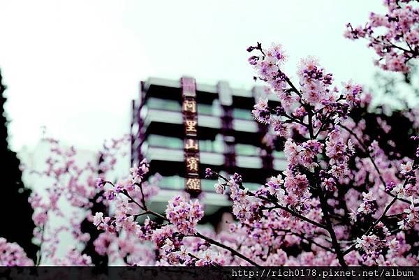 2.阿里山賓館櫻花季總是一房難求