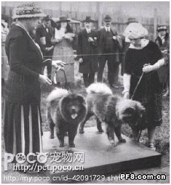 100年前在英國的鬆獅犬.jpg