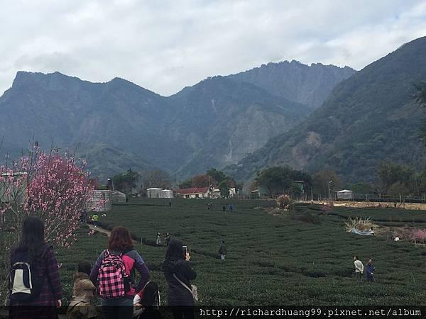 山,櫻,茶之語