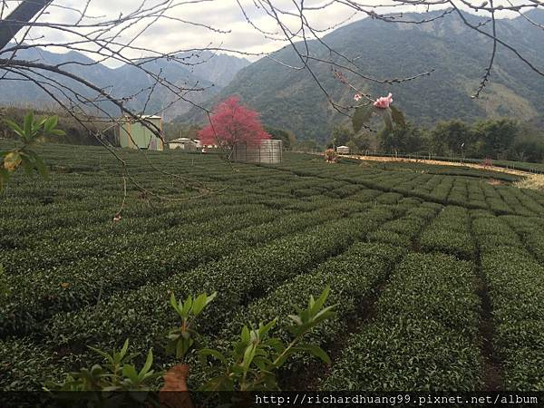 山 櫻 茶