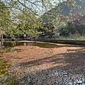 2021草坪頭櫻花