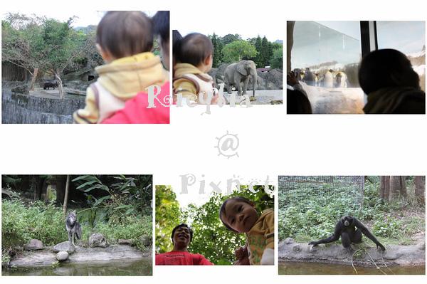 侏儒河馬非洲象企鵝灰狼長臂猿.jpg