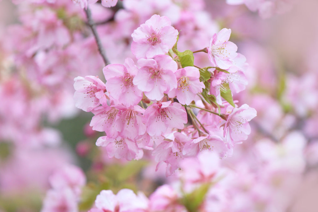 河津桜3.jpg