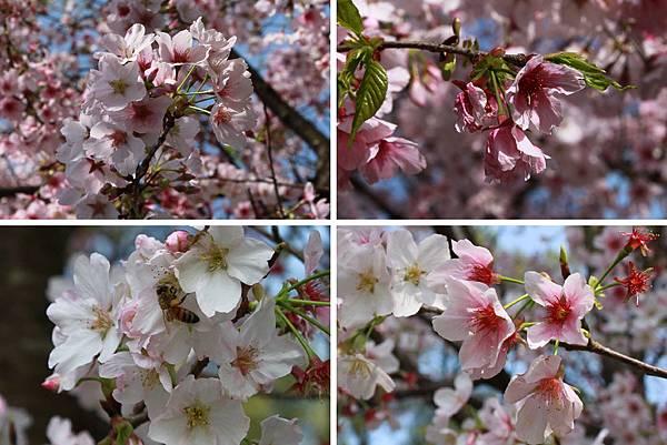 陽明山櫻花1