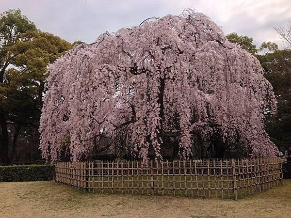 2014京都御苑 (11).JPG