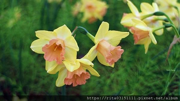 水仙-batch_6176660128_IMG_4576-11.jpg