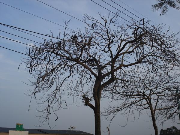 自藝術街步行到東海別墅公車站途中看到的「剥皮辣椒樹」