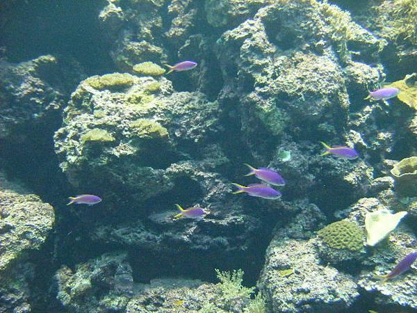 紫色的小魚