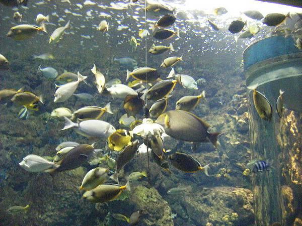 搶食中的魚群