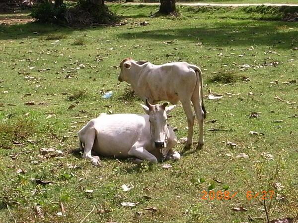 1216柬埔寨的牛好瘦弱.JPG