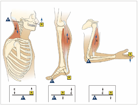 Levers_of_musculoskeletal_System
