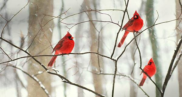 Male Northern Cardinals in the snow Robert Shaw Alamy