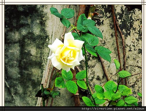 11玫瑰花.jpg