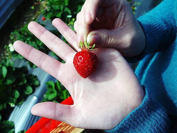紅嫩嫩草莓